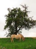 Koń w dzikim przy pasaniem Zdjęcie Royalty Free