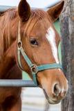 Koń w gospodarstwie rolnym Obrazy Stock