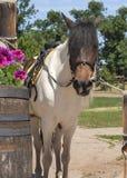Koń w na wolnym powietrzu Zdjęcia Stock