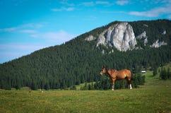 Koń w naturze Fotografia Stock