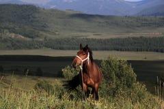 Koń w obszarze trawiasty Sinkiang Obrazy Royalty Free
