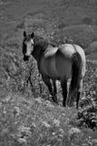 Koń w polach w black&white Obraz Royalty Free