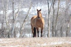 Koń w polu Obrazy Royalty Free