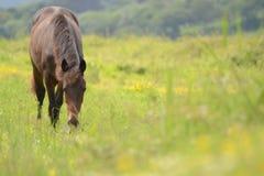 Koń w polu Obraz Royalty Free
