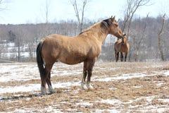 Koń w polu Fotografia Royalty Free