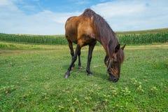 Koń w polu Obraz Stock