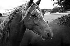 Koń w polu Zdjęcie Stock