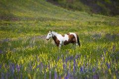 Koń w polu Wildflowers Zdjęcia Stock