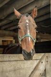 Koń w stajni Zdjęcia Royalty Free