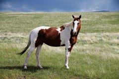 Koń w trawie Zdjęcia Stock