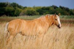 Koń w wysokiej trawie Obrazy Royalty Free