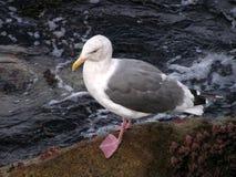 kołysa seagull Zdjęcia Stock