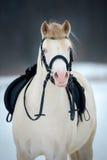 Koń z comberem i uzda w zimie. Obrazy Royalty Free