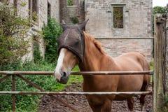 Koń z kapiszonem Obrazy Stock