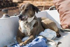 Koa el perro Fotos de archivo libres de regalías
