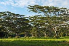 Koa kauai Χαβάη ακακιών δέντρων της Koa στοκ εικόνα με δικαίωμα ελεύθερης χρήσης