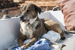 Koa o cão Fotos de Stock Royalty Free