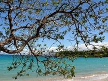 Koaia del acacia en una playa imagen de archivo