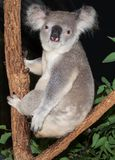 Koala éveillé dans un arbre de gomme photos stock