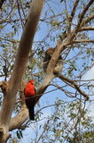Koala και αυστραλιανός παπαγάλος βασιλιάδων Στοκ εικόνες με δικαίωμα ελεύθερης χρήσης