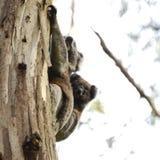 Koala και μωρό στο μεγάλο ωκεάνιο δρόμο Στοκ εικόνες με δικαίωμα ελεύθερης χρήσης