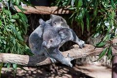 Koala και μωρό Στοκ εικόνες με δικαίωμα ελεύθερης χρήσης