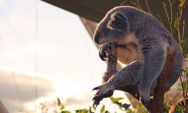koala νυσταλέο Στοκ Εικόνα
