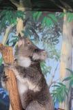 Koala που κοιτάζει επίμονα στην κορυφή Στοκ εικόνα με δικαίωμα ελεύθερης χρήσης