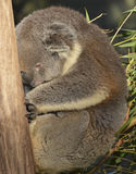 Koala που παρασύρει μακριά στον ύπνο ταυτόχρονα προσκολμένος σε έναν κορμό δέντρων Στοκ Εικόνες