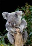 Koala που πιάνει τον κλάδο με τέσσερα πόδια Στοκ φωτογραφίες με δικαίωμα ελεύθερης χρήσης