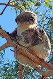Koala στη στήριξη/τον ύπνο των άγρια περιοχών στα δέντρα ευκαλύπτων στο ακρωτήριο Otway σε Βικτώρια Αυστραλία Στοκ φωτογραφία με δικαίωμα ελεύθερης χρήσης