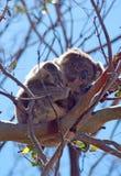 Koala στη στήριξη/τον ύπνο των άγρια περιοχών στα δέντρα ευκαλύπτων στο ακρωτήριο Otway σε Βικτώρια Αυστραλία Στοκ Εικόνες
