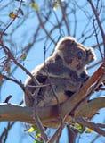 Koala στη στήριξη/τον ύπνο των άγρια περιοχών στα δέντρα ευκαλύπτων στο ακρωτήριο Otway σε Βικτώρια Αυστραλία Στοκ εικόνες με δικαίωμα ελεύθερης χρήσης
