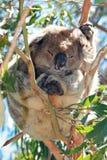 Koala στη στήριξη/τον ύπνο των άγρια περιοχών στα δέντρα ευκαλύπτων στο ακρωτήριο Otway σε Βικτώρια Αυστραλία Στοκ Εικόνα