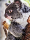 Koala στον κλάδο Στοκ φωτογραφία με δικαίωμα ελεύθερης χρήσης