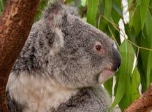 Koala στο σχεδιάγραμμα στοκ εικόνες