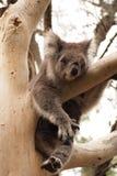 Koala ύπνου Στοκ φωτογραφία με δικαίωμα ελεύθερης χρήσης