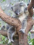 Koala ύπνου Στοκ Εικόνες