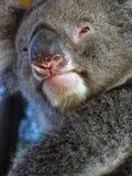 koala животных Стоковое Изображение RF