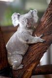 koala медведя Стоковые Изображения RF