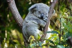 koala медведя Стоковая Фотография