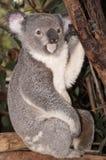 koala медведя Стоковые Фото