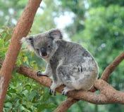 koala медведя Стоковое Изображение