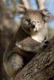 Koala на вале Стоковые Изображения