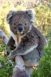 Koala на вале Стоковые Фотографии RF