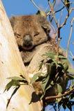 Koala спать Стоковые Изображения RF