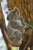 koala Fotografia Royalty Free