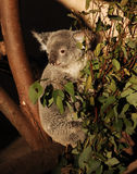 Koala. A shot of a Koala in a tree Stock Photos