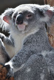 Koala. A koala in Queensland, Australia Stock Photo