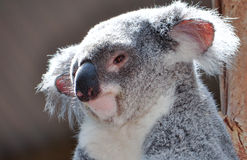 Koala. A koala in Queensland, Australia Royalty Free Stock Images